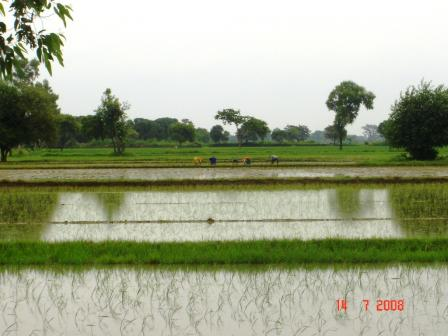 growing-rice.jpg